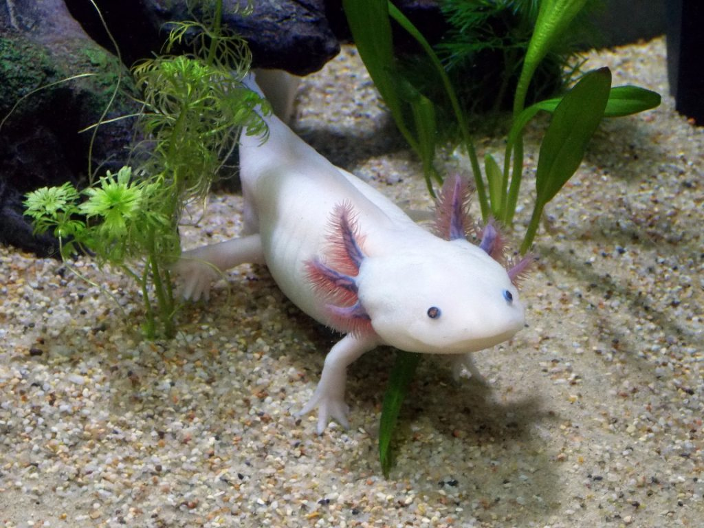 axolotl tips beginners