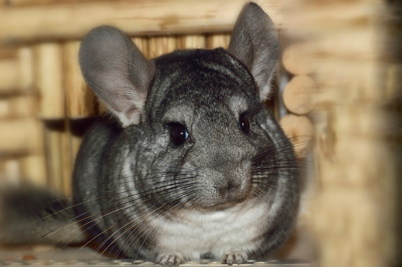 chinchilla vlooien