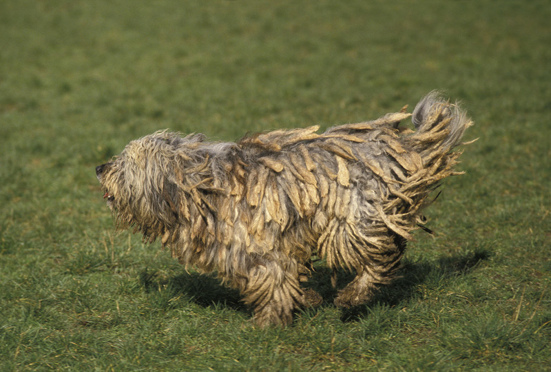 Bergamasco dreads