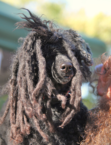 poedel dreadlocks