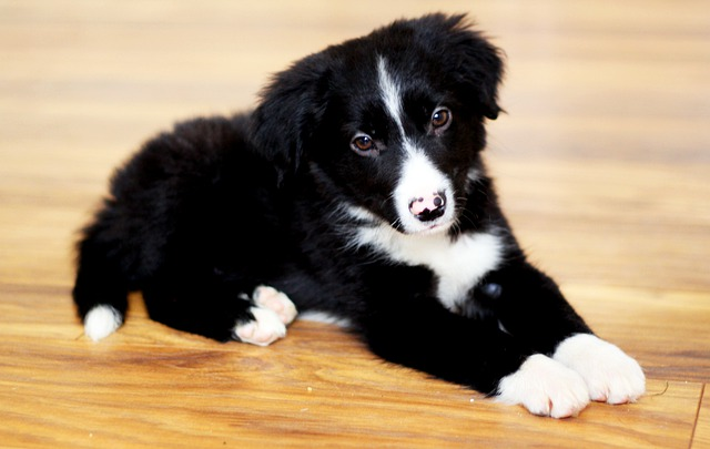 border collie fokkers